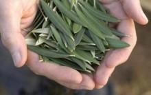 Os 10 Benefícios do extrato da folha de oliveira para saúde