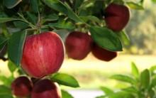Os Benefícios das maçãs para a saúde