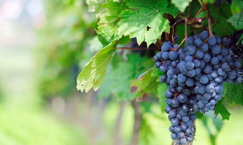 benefícios das Uvas para Saúde