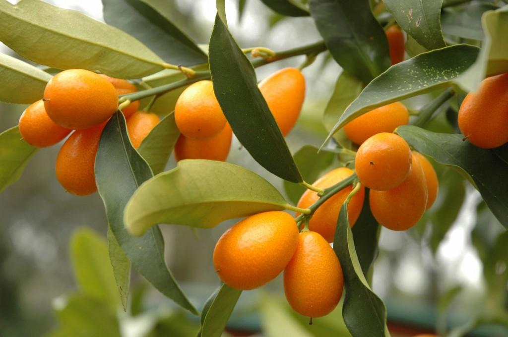 kumquat tem beneficios