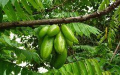 Os 10 Benefícios do Bilimbi Para Saúde!